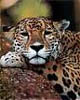 Jaguar's Avatar